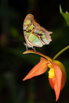 ~~Malachite Butterfly rests upon an orchid by Robert Bridgens~~