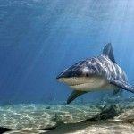 Bull Shark ...