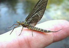 """Female Litobrancha recurvata (Dark Green Drake) Mayfly Dun formerly known as """"#Hexagenia recurvata"""". Local anglers talk of a significant community of these bugs located in the Ann Arbor area"""