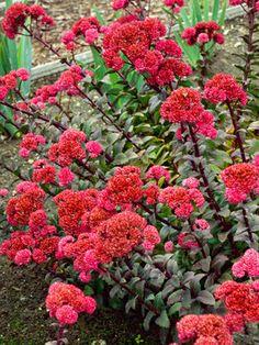 Sedum telephium Red Cauli Landscaping Plants, Garden Plants, Red Plants, Garden Bed, Flowers Garden, Potted Plants, Beautiful Gardens, Beautiful Flowers, Heather Gardens