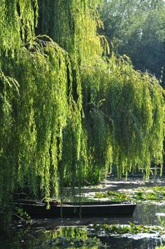 Weeping willows were among Claude Monet's favorite trees for many reasons, one… Claude Monet, Willow Tree Art, Willow Tree Tattoos, Monet Garden Giverny, Landscape Arquitecture, Weeping Willow, Weeping Trees, Bonsai Garden, Water Lilies