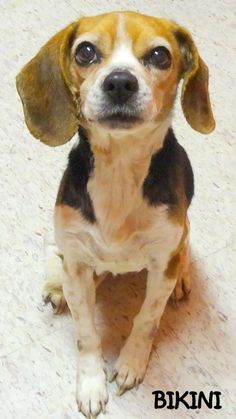 ADOPTED! Tag# 8969 Name is Bikini Beagle Female-unsure of spay Approx. 12+ years old Approx. 20 lbs. (thin) Sweet girl who is quiet & patient!  Located at 2396 W Genesee Street, Lapeer, Mi. For more information please call 810-667-0236. Adoption hrs M-F 9:30-12:00 & 12:30-4:15, Weds 9:30-12:00 & Sat 9:00-2:00      https://www.facebook.com/267166810020812/photos/a.824034274334060.1073742142.267166810020812/824034464334041/?type=3&theater