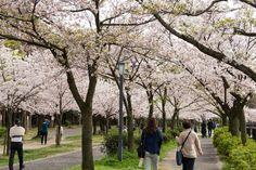 https://flic.kr/p/FZ2tZY | Cherry Blossoms, Kema-Sakuranomiya-koen Park, Osaka, 2016 | 毛馬桜之宮公園