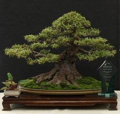 """""""Willow leaf fig"""" is a common name for the Ficus bonsai tree created by Ed Trout in South Florida."""