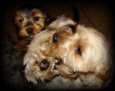 Morkies...Melvin, Mac & Archie