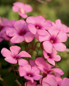 Cottage Pink - Wood Sorrel - Oxalis crassipes