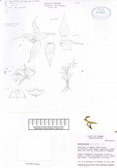 Brachionidium pteroglossum