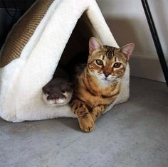 This video is a true joy and inspiration to watch! When Sam the Bengal cat first met Pip the Otter, nobody guessed just how well they would bond. Since getting to know each other, these two have