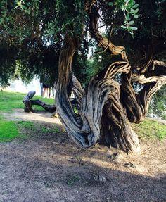 Tree on Lake Merritt.  Photo by Anne Bruff