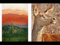 """Video del libro fotografico """"Paesaggi, montagne, foreste, colori, stagioni del Parco Nazionale d'Abruzzo"""", di Marco Palladino.  Il libro è visionabile e acquistabile online all'indirizzo: http://it.blurb.com/bookstore/detail/3567794"""
