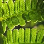 Ferns for Growing in Containers