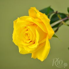 Rio Roses - Bikini
