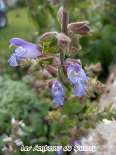 Salvia tomentosa. Feuilles persistantes, gris vert. La plante a un port rampant et de longues inflorescenses érigées.     Origine : Balkans, Asie de l'ouest
