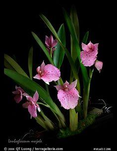 Lemboglossum majale. A species orchid