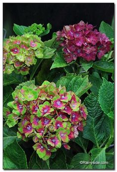 The Pistachio™ Hydrangea - mophead cluster of flowers begins festooned in chartreuse-green. As they mature, the center  changes into violet red with the outside edges  chartreuse-green.
