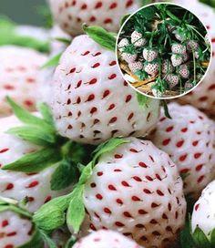 Weiße Erdbeeren die nach Erdbeer und Ananas schmecken. Unbedingt für nächsten Frühling bestellen *Yummi*