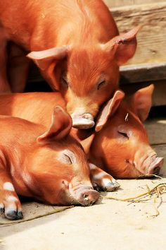 Beautiful! I think they are Duroc's