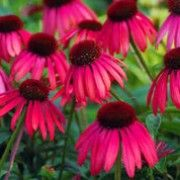 Botanical name: Echinacea 'Twilight' (Big Sky Series)    Other names: Coneflower 'Twilight' Click image to learn more, add to your lists and get care advice reminders each month.