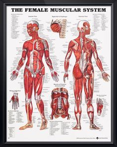 Muscular System: Female anatomy poster shows anterior and posterior views of the human female muscles. Chart for doctors and nurses.