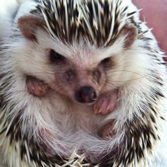 Hedgehog - I was lucky enough to see one of these in person when I lived I'm England!