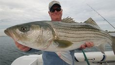 Bait tips for catching striped bass. #fishingtips