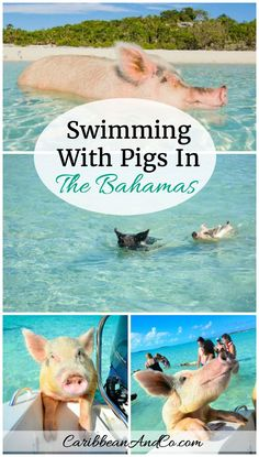 Find out why one of the more unusual and fun things to do on the Caribbean island of Exuma in The Bahamas is to swim with some very adorable and friendly looking pigs.