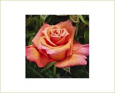 Milva Dark - Standard Rose - Roses - Flowers by category