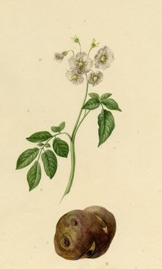 Harvard University Herbaria – Botany Libraries Archives Economic Botany Potato P… Harvard University Herbaria – Botany Libraries Archives Economic Botany Potato Prints Potato Print, November Challenge, Indoor Flowering Plants, Botanical Tattoo, Harvard University, Botany, Planting Flowers, Plant Leaves, Potatoes