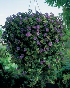 Summer Wave Blue Torenia hybrid--drought tolerant, for hanging baskets