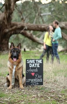 Love this GSD in his man-tie for engagement photo - Ha ha. Love this GSD in his man-tie for engagement photo - Engagement Pictures, Engagement Shoots, Engagement Photography, Wedding Engagement, Engagement Rings, Wedding Save The Dates, Wedding Pictures, Wedding Ideas, Sabe The Date