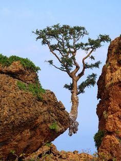 "smepletyn - «The desire to live!""  Socotra - an island of happiness."