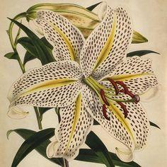 """Lilium auratum"", Walter Hood Fitch."
