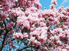 """Buy the royalty-free Stock image """"Bloomy magnolia tree with big pink flowers"""" online ✓ All image rights included ✓ High resolution picture for print, we. Magnolia Trees, Magnolia Flower, Flower Images, Flower Pictures, Flowers For You, Pink Flowers, Blossom Trees, Blossoms, Plant Art"""
