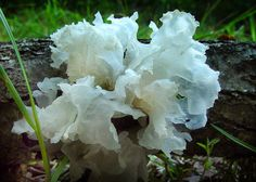 Tremella fuciformis, or White Jelly Mushroom