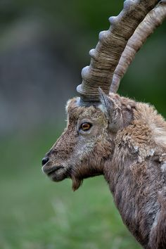 Check out those horns! Unlike a deer's antlers, which are shed each year, horns are permanently attached. (photo by Enrico Boscolo)