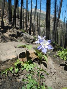 Beauty can be found in surprising places! Fire will burn up vegetation and trees, and create fertile nutrient-rich soil for new plants to grow. Currently Columbines, Colorado's state flower, are blooming along the trail in the charred forest near Cub Lake. ch (photo taken by Ranger JB)