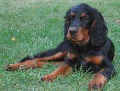 gordon setter - prachtige honden (ik heb er zelf ook 1)