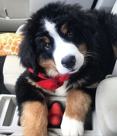 Most up-to-date Images bernese mountain dogs border collie Tips Over a long time, the particular Bernese Huge batch Pet is really a basis of farmville farm existence i Fluffy Animals, Cute Baby Animals, Animals And Pets, Bermese Mountain Dog, Mountain Dogs, Bernese Dog, Entlebucher, Cute Dogs And Puppies, Doggies