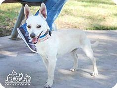 Irvine, CA - Chihuahua Mix. Meet DEZI, a dog for adoption. http://www.adoptapet.com/pet/17304088-irvine-california-chihuahua-mix