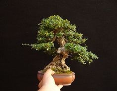 Hand Held Bonsai | Bonsai Bark