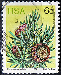 Issued of May R S A Protea canaliculata. South African Flowers, Cactus, Vacation Scrapbook, Africa Map, Flower Stamp, Vintage Stamps, Penny Black, Fauna, Trees To Plant