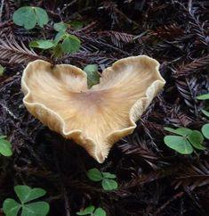 Heart shaped mushroom in redwood forest