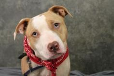 Bali (rescue me) is an adoptable Pit Bull Terrier Dog in Greenville, SC.  ...