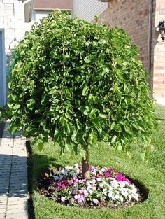 weeping mulberry tree - Google Search