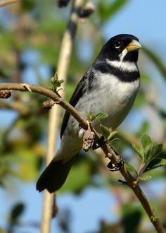 Double-collard Seedeater (Sporophila caerulescens) member of the tanager family