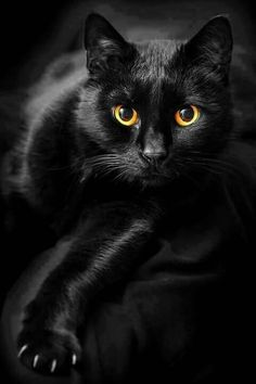 Black Kitties - October 2015 Did you know that today is National Black cat Day in the US?Did you know that today is National Black cat Day in the US? Pretty Cats, Beautiful Cats, Animals Beautiful, Cute Animals, Gorgeous Eyes, Amazing Eyes, Black Animals, Beautiful Things, Funny Animals