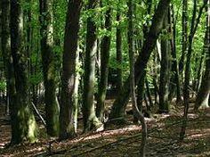 Alcanza mayor altura (de 15 a 30 metros) y posee un estrato más denso de arbustos que el bosque mediterráneo.