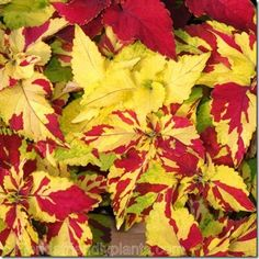 Coleus Finger Paint sports red, yellow and a mosaic of red & yellow.