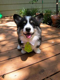 Pure Puppy Perfection! Pudge derPoopster, famous & fluffy Pembroke Welsh Corgi of CorgiAddict, as a wee pup.