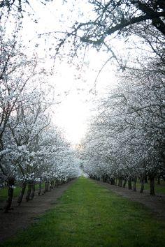 Almond trees in bloom (near Dixon, CA)